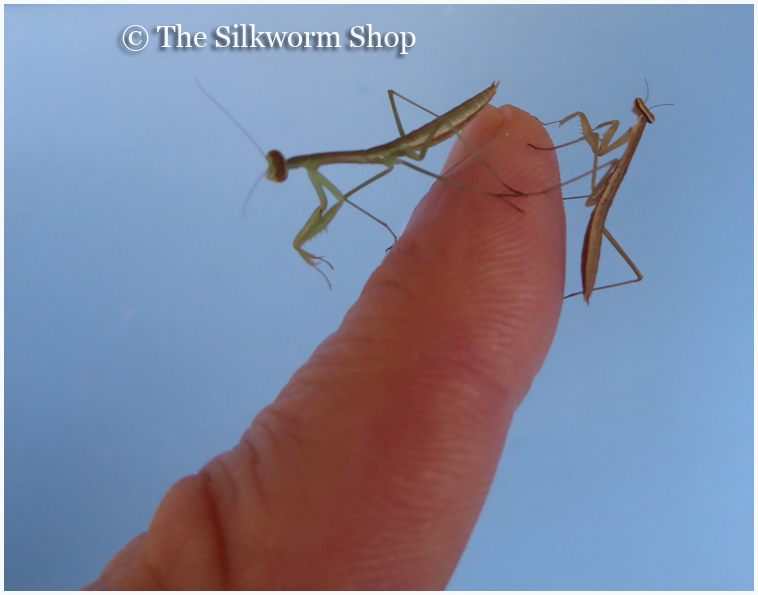 Praying Mantis Page Eggs Living Mantids Food Cages And More